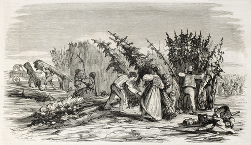 cannabis harvesting in history